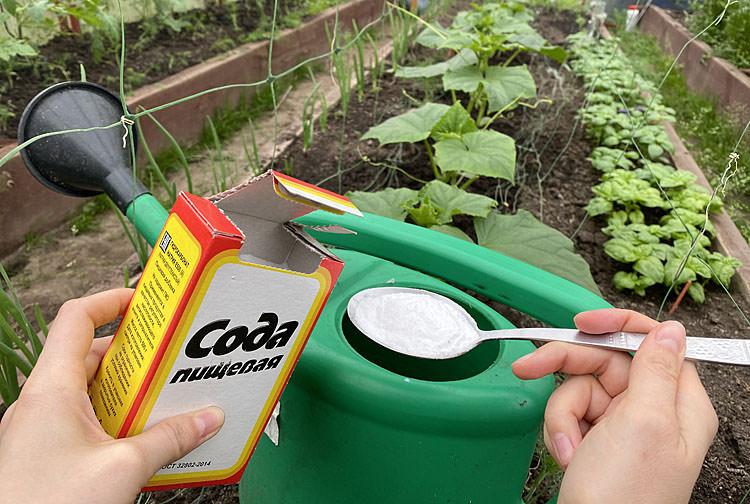Додаємо харчову соду в лійку і поливаємо грядки: проста добавка для врожаю