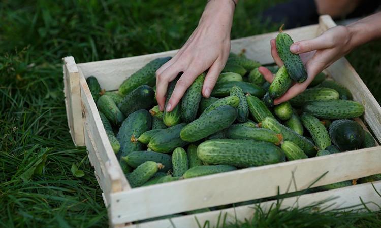 Поливаємо огірки молочною сумішшю і листя не жовтіють до вересня. Урожай збираємо до холодів