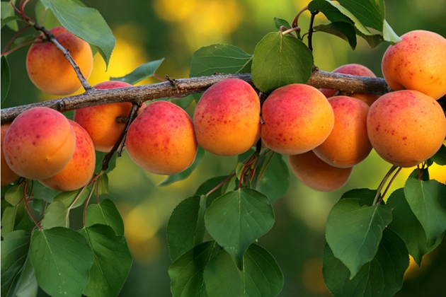 Рецепт абрикосів в сиропі на зиму, виходять смачніше магазинних