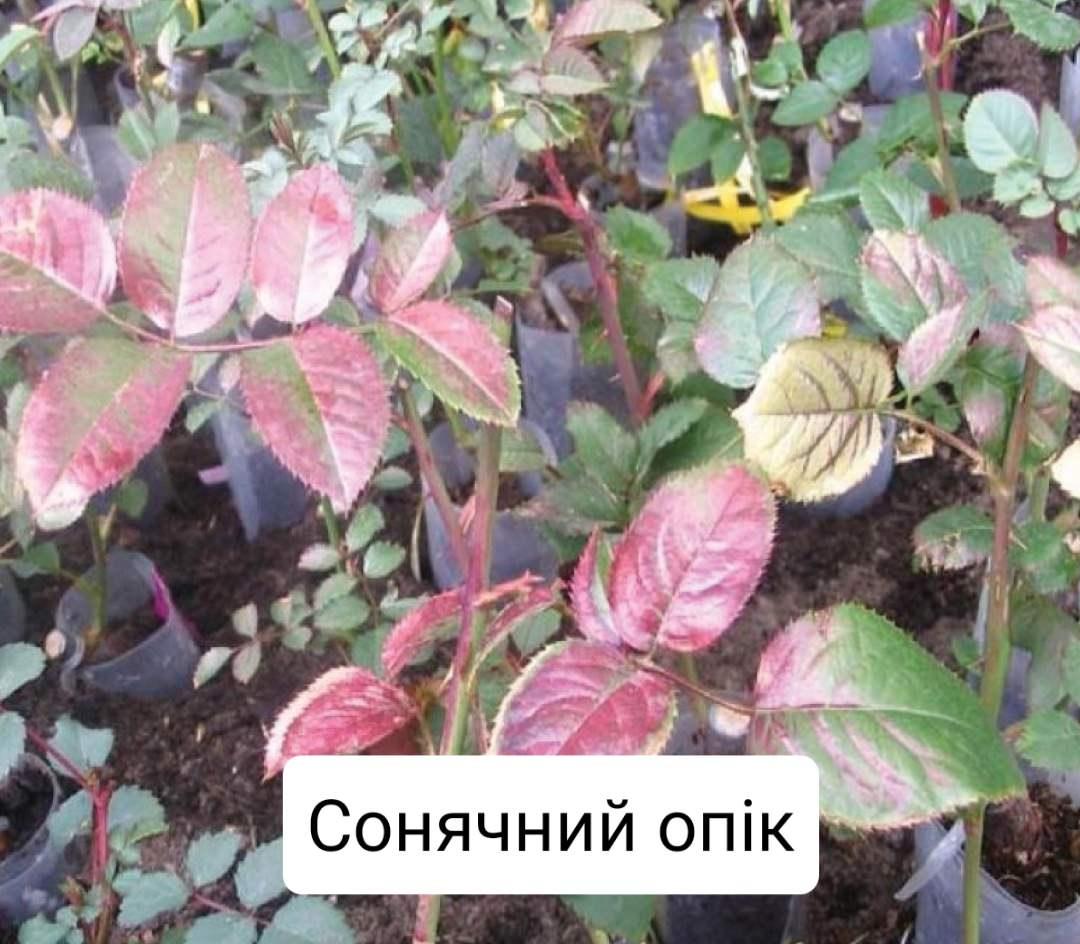 Плями на листках троянди: що робити і чим лікувати?